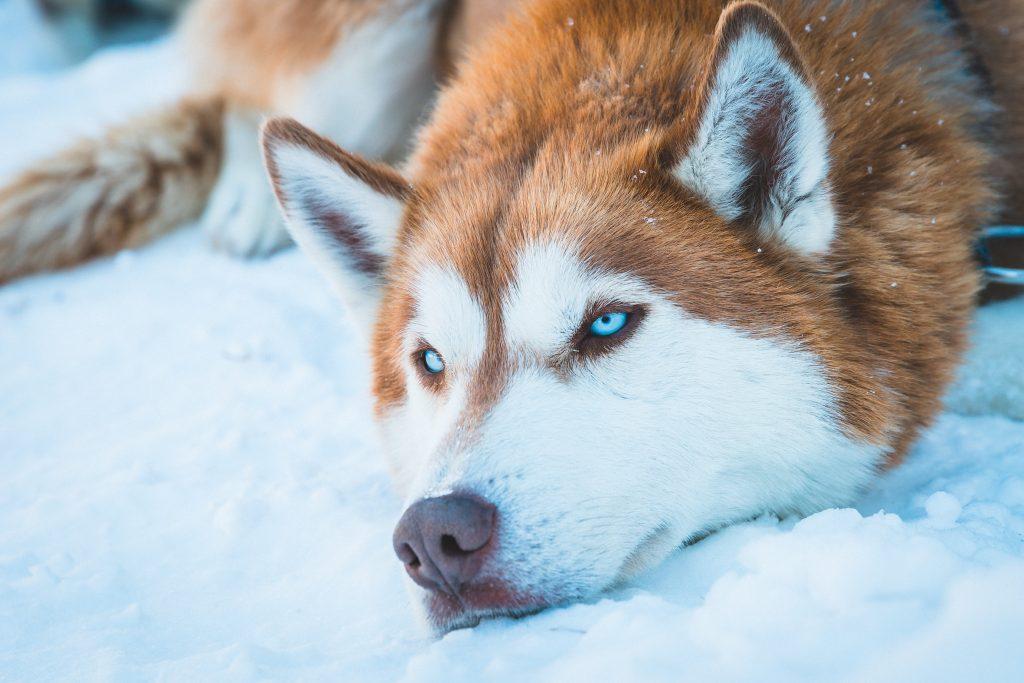 Husky-dans-la-neige